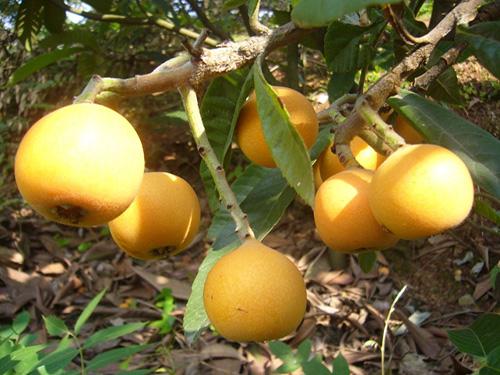 大五星枇杷在长江以南地区的庭院种植与绿化优势